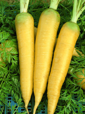 Solar Yellow Carrot - Daucus carrota - Heirloom Vegetable - 50 Seeds