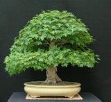 Trident Maple - Acer buergerianum - Bonsai / Tree - 5 Seeds