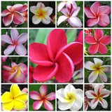 Frangipani - Plumeria Mixed Species - Exotic Succulent - 5 Seeds
