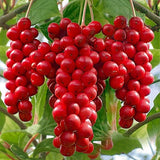 Chinese Magnolia Vine - Schisandra Chinensis - Edible Fruit - Seeds