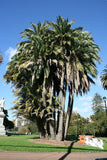 Wild Date Palm - Phoenix Reclinata - Indigenous Palm - 10 Seeds