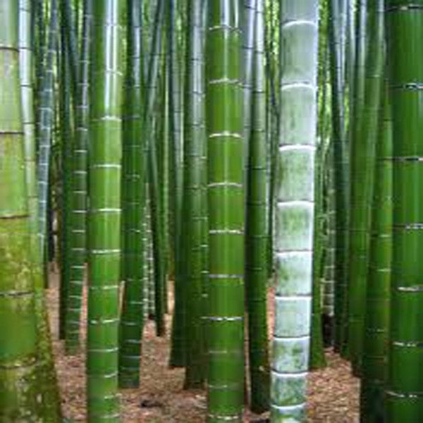 Moso Bamboo - Phyllostachys Pubescens - Edible shoots - 10 Seeds