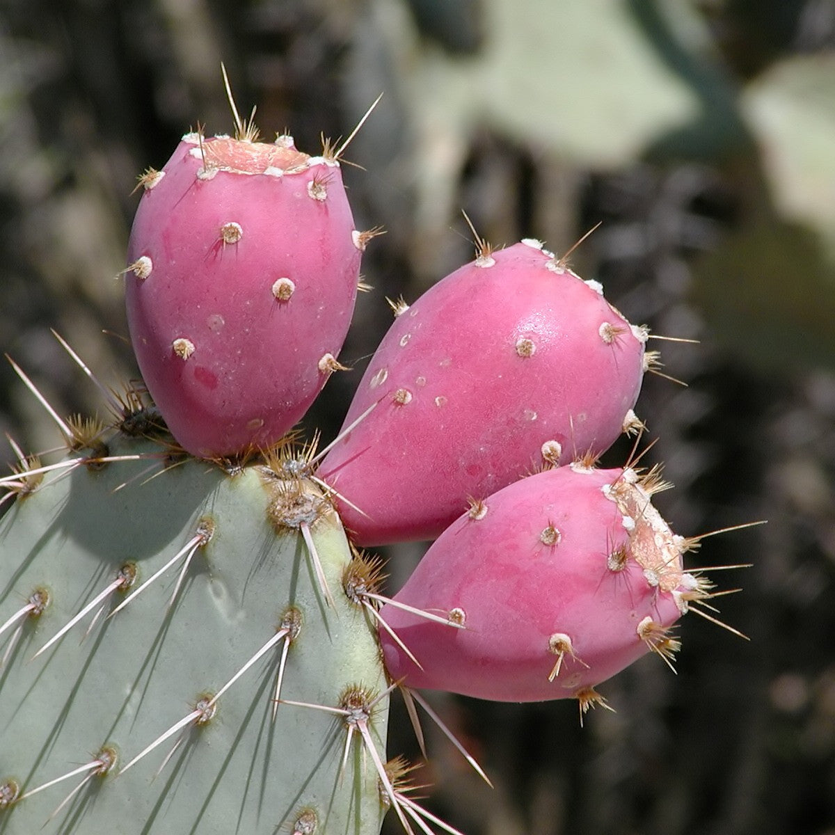 Images Prickly Pear With Fruit
