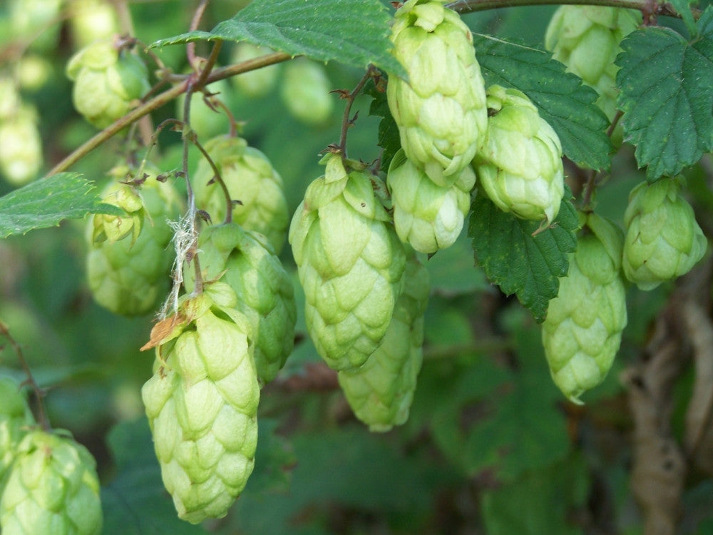 Hops - Humulus Lupulus - The Plant Beer is made from - Perennial Climber - 10 Seeds