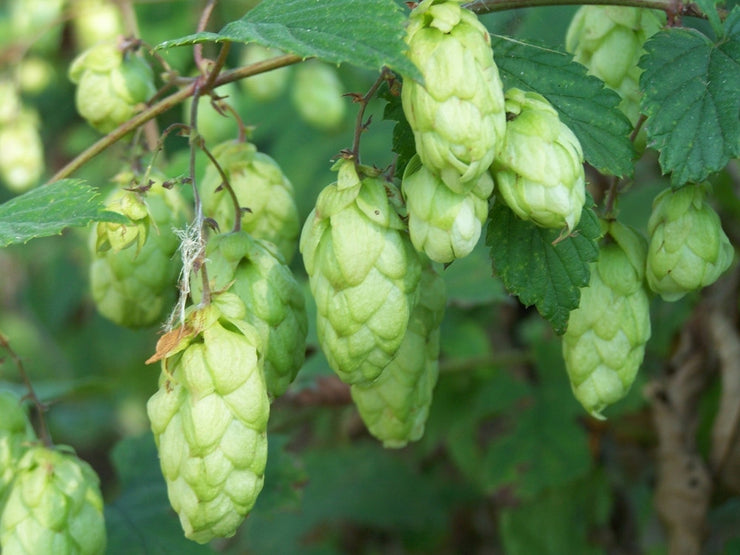 Hops - Humulus Lupulus v lupulus - The Plant Beer is made from - Perennial Climber - 10 Seeds