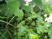 Wild Rocket - Culinary Herb - Diplotaxis Erucoides - 150 Seeds