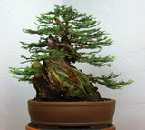 Coast Redwood - Bonsai Tree - Sequoia Semeprvirens - 10 Seeds