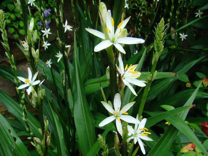 Chlorophytum Bowkeri - Indigenous South African Bulb - 10 Seeds