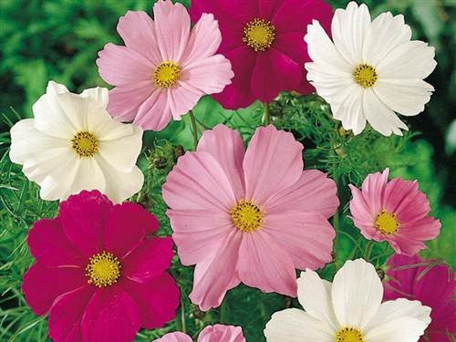 Comos Sensation - Cosmos Bippinatus - 200 Seeds - Annual Flower