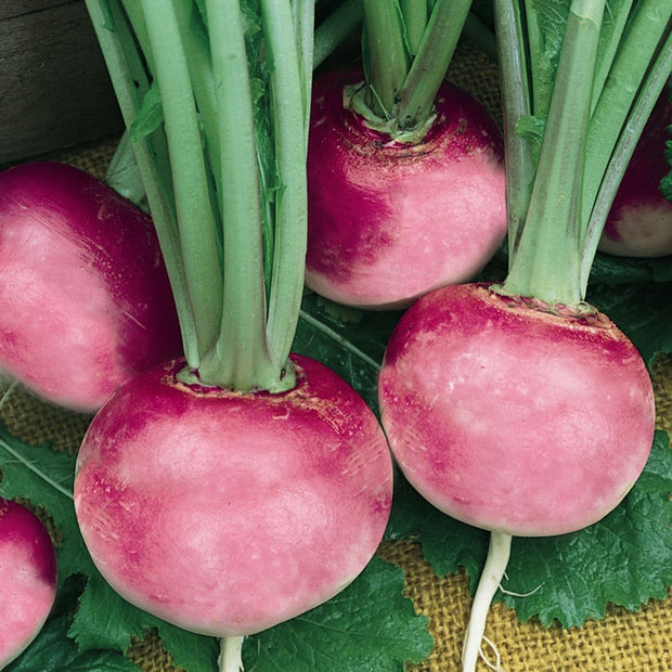 Pink Beauty Radish - Raphanus sativus - ORGANIC - Heirloom Vegetable - 50 Seeds
