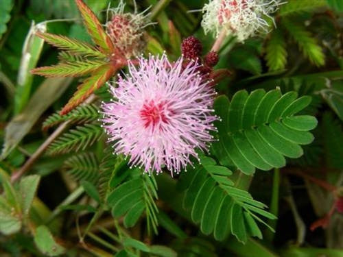 Mimosa Pudica Sensitive Plant - Mimosa Pudica - 60 Seeds