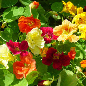 Nasturtium Jewel Choice Mix - Bulk Edible Flower Seeds