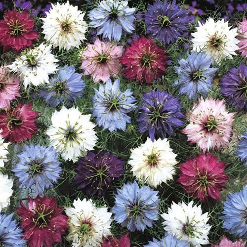 Nigella Persian Jewel Mix - Nigella Damascena - 100 Seeds - Annual Flower