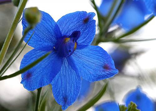 Delphinium Blue Butterfly - Delphinium Chinensis - 100 Seeds - Annual Flower