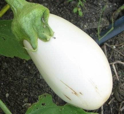White Star Eggplant - Solanum Melongena - 5 Seeds
