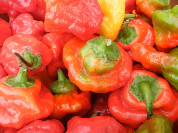 Rocotillo Chilli Pepper - Capsicum Baccatum - 10 Seeds