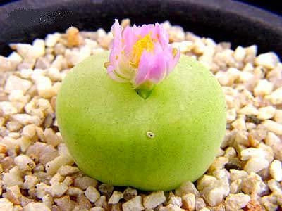 Conophytum Pillansii - Mesembs - Indigenous South African Succulents - 10 Seeds
