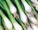 White Lisbon Spring Onion - Vegetable / Herb - 100 Seeds