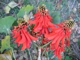 Wedding Favour Seeds - Lucky Bean Tree - Erythrina Lysistemon - Indigenous South African Tree