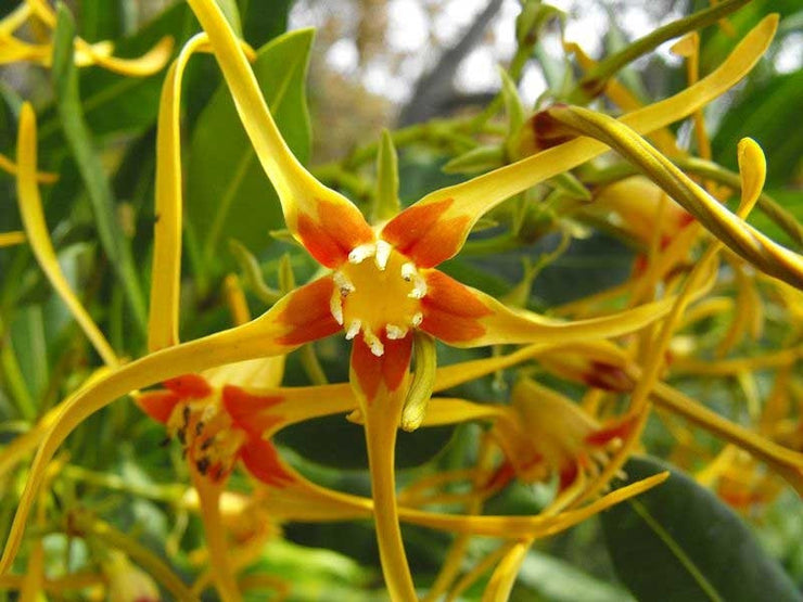 Strophanthus Speciosus - Indigenous South African Climbing Vine - 10 Seeds