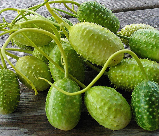 Cucumis Anguria - Indigenous South African Vine - 10 Seeds