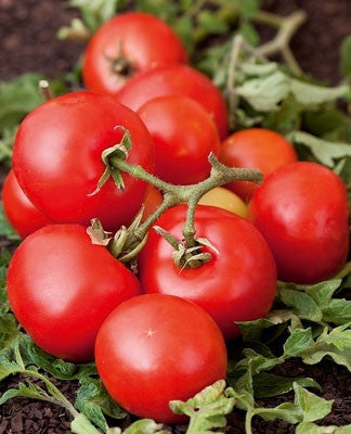 Red Kaki Tomato - Lycopersicon Esculentum - 50 Seeds