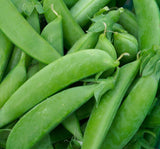 Sugar Queen Snap / Snow Peas - Pisum sativum - Vegetable - 20 Seeds
