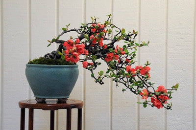 Flowering Japanese Quince - Chaenomeles Japonica - Exotic Japanese Bonsai Tree - Edible Fruit - Seeds