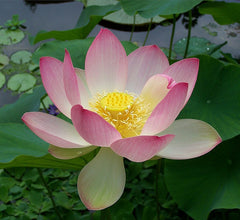 Light Pink Sacred Lotus Water Lily Aquatic - Nelumbo Nucifera  - 5 Seeds