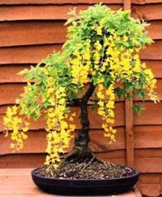 Golden Rain Tree - Koelreuteria Paniculata - Deciduous Bonsai Tree - 5 Seeds