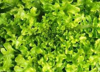 Salad Bowl Green Lettuce - Lactuca Sativa - Vegetable - 200 Seeds - ORGANIC