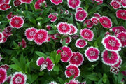 Dianthus Baby Doll Mix - Dianthus Barbatus - Annual - 200 Seeds