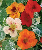 Nasturtium Alaska Mix - Tropaeloum Majus - 20 Seeds - Edible Annual Flower