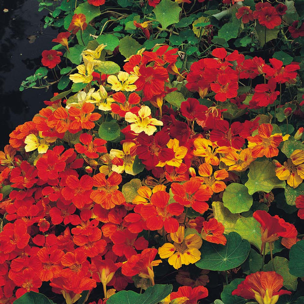 Nasturtium Single Climbing Mix - Bulk Edible Flower Seeds