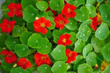 Nasturtium Globe of Fire - Bulk Edible Flower Seeds