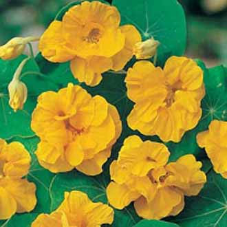 Nasturtium Golden Jewel - Bulk Edible Flower Seeds