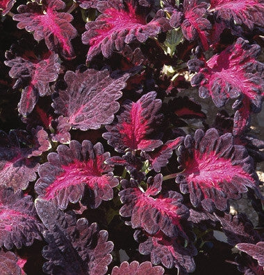Coleus Black Dragon - Annual - Solenostemon - 20 Seeds