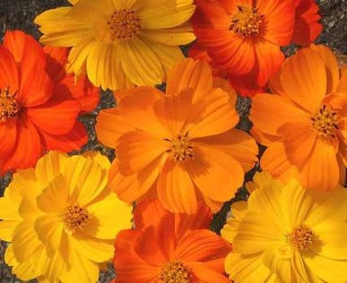 Comos Bright Lights - Cosmos Sulphureus - 200 Seeds - Annual Flower
