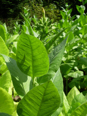 Turkish Black Sea Tobacco - Nicotiana Tabaccum - 20 Seeds