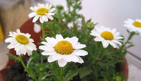 Chrysanthemum Paludosum - Creeping Daisy - Annual Flower - 500 Seeds