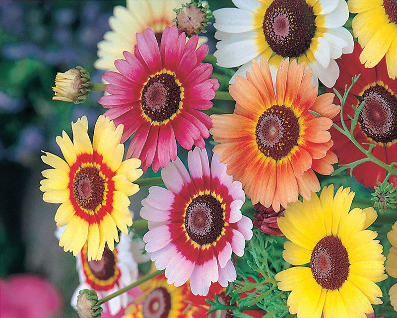 Chrysanthemum Rainbow Mix / Tricolor - Chrysanthemum Carinatum - Annual Flower - 500 Seeds