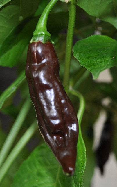 Chocolate Fatalii Pepper - Chilli Pepper - Capsicum Chinense - Hot & Rare - 10 Seeds