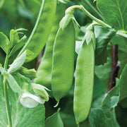 Kennedy Mange Tout Pea - Pisum Sativum - Heirloom Vegetable - 10 Seeds