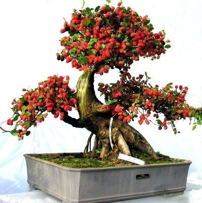 red mulberry morus rubra fruit tree bonsai 10. Black Bedroom Furniture Sets. Home Design Ideas