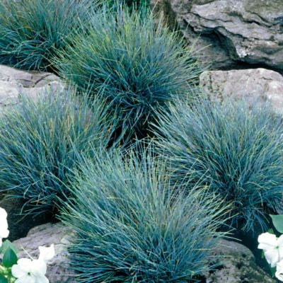 Blue Fescue Grass Festuca Ovina Glauca Exotic