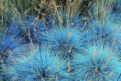 Blue Fescue Grass - Festuca Ovina Glauca  - Exotic Ornamental Grass - 20 Seeds