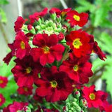Crimson Shades Fairy Primrose - Primula Malacoides - Annual Flower - 50 Seeds