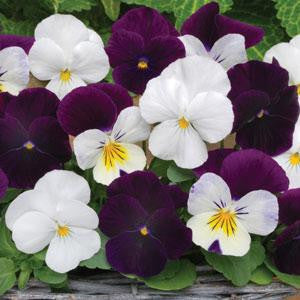 Viola Sorbet Blackberry Sundae Mix - Viola cornuta - 10 Seeds