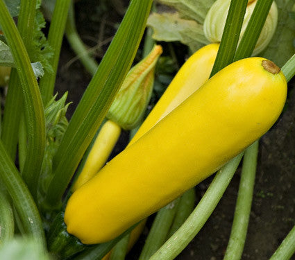 Easy Pick Golden Zucchini - Cucurbita pepo - 5 Seeds - The Patio Vegetable Collection