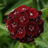 Dianthus Sweet Black Cherry - Dianthus barbatus - Annual Flower - 5 Multi Seed Pellets